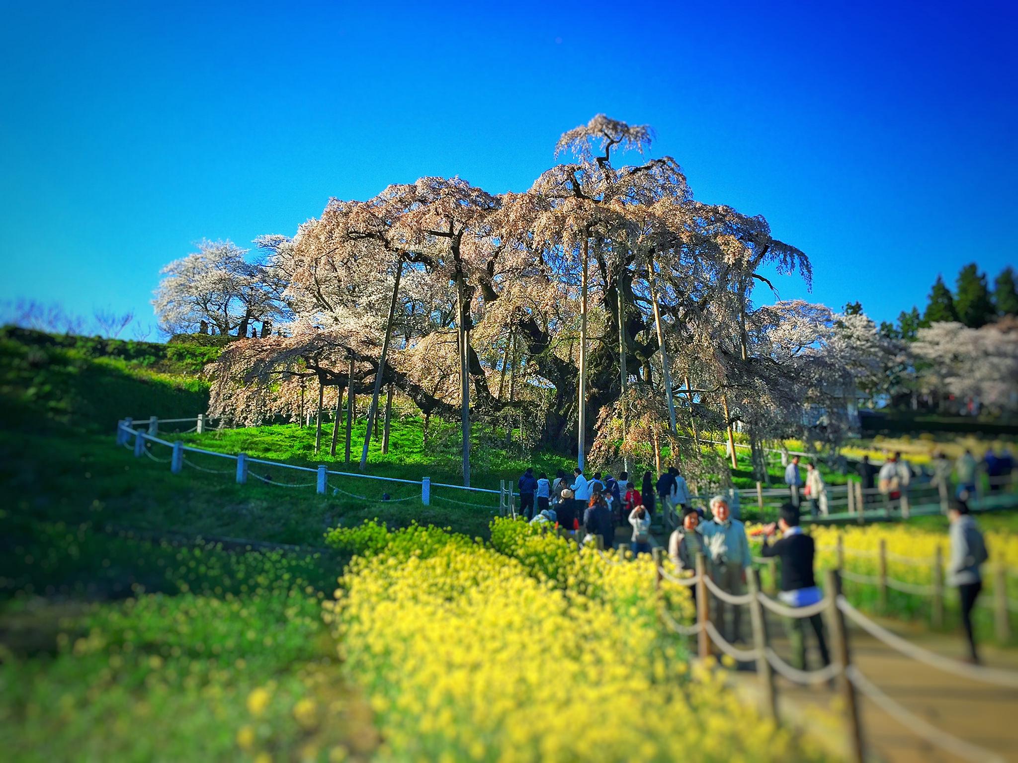 東北でよかった。三春の滝桜
